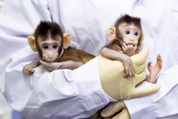 เข้าใกล้มนุษย์แล้ว! นักวิทยาศาตร์ประเทศจีน โคลนนิ่งลิงสำเร็จครั้งแรกของโลก